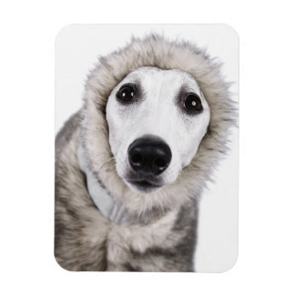 Whippet dog wearing fur coat, studio shot magnet