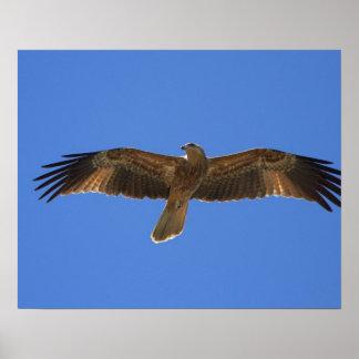 Whistling Kite, Adelaide River 2 Poster
