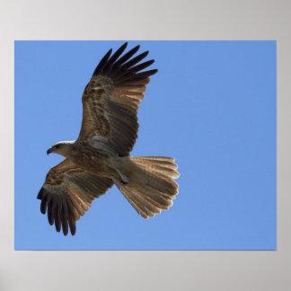 Whistling Kite, Adelaide River Poster