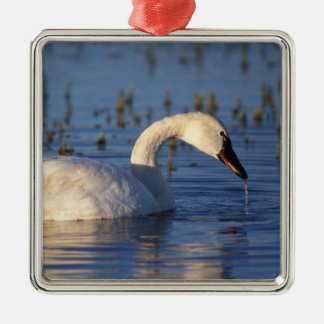 whistling swan, Cygnus columbianus, eating water Christmas Ornament