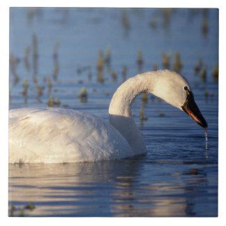 whistling swan, Cygnus columbianus, eating water Large Square Tile