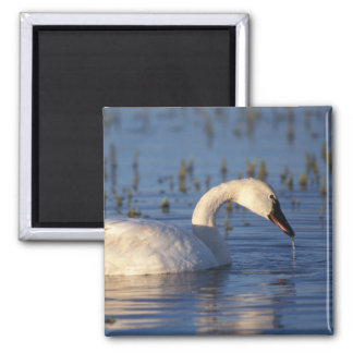whistling swan, Cygnus columbianus, eating water Magnet