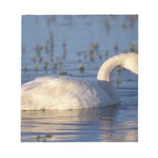 whistling swan, Cygnus columbianus, eating water Notepad