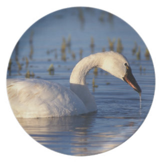 whistling swan, Cygnus columbianus, eating water Party Plate