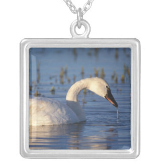 whistling swan, Cygnus columbianus, eating water Silver Plated Necklace