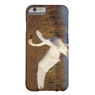 whistling swan, Cygnus columbianus, stretching Barely There iPhone 6 Case