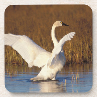 whistling swan, Cygnus columbianus, stretching Coaster