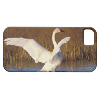 whistling swan, Cygnus columbianus, stretching iPhone 5 Cover