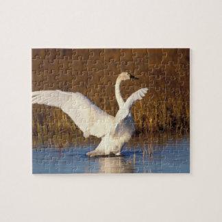 whistling swan, Cygnus columbianus, stretching Jigsaw Puzzle