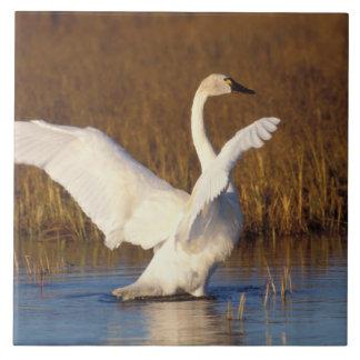 whistling swan, Cygnus columbianus, stretching Large Square Tile