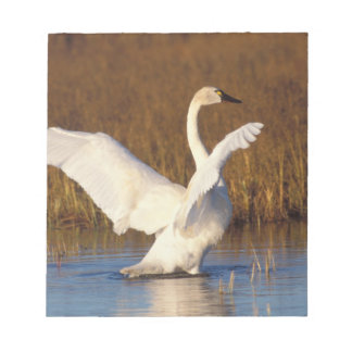 whistling swan, Cygnus columbianus, stretching Notepad