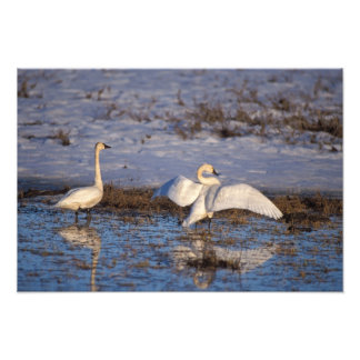 whistling swan, Cygnus columbianus, stretching Photo Print