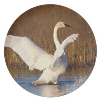whistling swan, Cygnus columbianus, stretching Plate