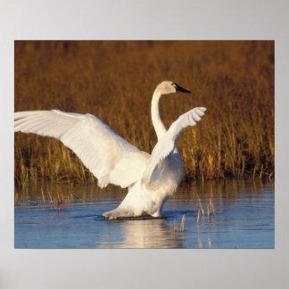 whistling swan, Cygnus columbianus, stretching Poster