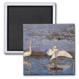 whistling swan, Cygnus columbianus, stretching Square Magnet