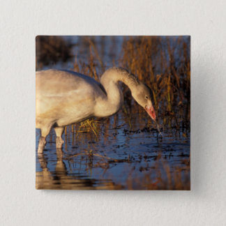 Whistling swan juvenile eating roots, 1002 15 cm square badge