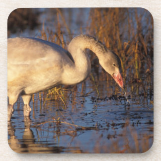 Whistling swan juvenile eating roots, 1002 coaster
