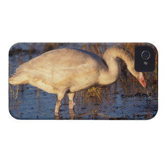 Whistling swan juvenile eating roots, 1002 iPhone 4 Case-Mate cases