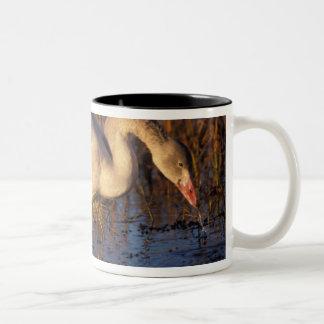 Whistling swan juvenile eating roots, 1002 coffee mug