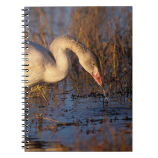 Whistling swan juvenile eating roots, 1002 notebooks