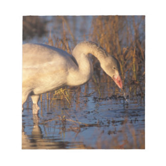 Whistling swan juvenile eating roots, 1002 notepad