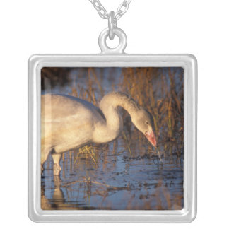 Whistling swan juvenile eating roots, 1002 silver plated necklace