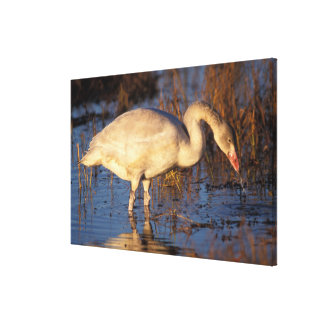 Whistling swan juvenile eating roots, 1002 stretched canvas print
