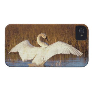 Whistling swan or tundra swan, stretching its iPhone 4 Case-Mate case