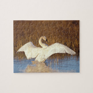 Whistling swan or tundra swan, stretching its jigsaw puzzle