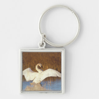Whistling swan or tundra swan, stretching its key ring