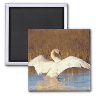 Whistling swan or tundra swan, stretching its magnet