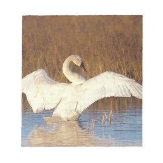 Whistling swan or tundra swan, stretching its notepad
