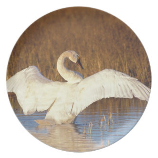 Whistling swan or tundra swan, stretching its party plate