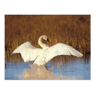 Whistling swan or tundra swan, stretching its postcard