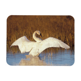 Whistling swan or tundra swan, stretching its rectangular magnet