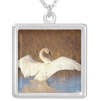 Whistling swan or tundra swan, stretching its silver plated necklace