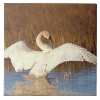 Whistling swan or tundra swan, stretching its tile