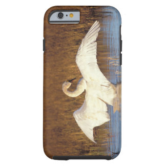 Whistling swan or tundra swan, stretching its tough iPhone 6 case
