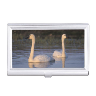 Whistling swan or tundra swan, swimming in the business card holder