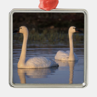 Whistling swan or tundra swan, swimming in the christmas ornament