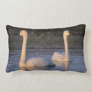 Whistling swan or tundra swan, swimming in the cushion