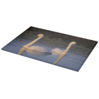 Whistling swan or tundra swan, swimming in the cutting board