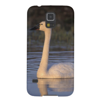 Whistling swan or tundra swan, swimming in the galaxy s5 case