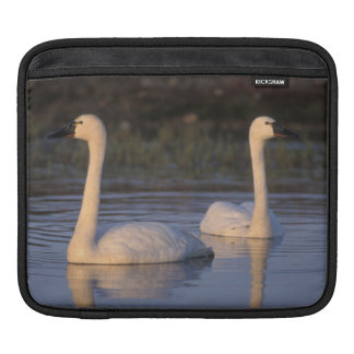 Whistling swan or tundra swan, swimming in the iPad sleeve