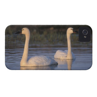 Whistling swan or tundra swan, swimming in the iPhone 4 covers