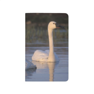 Whistling swan or tundra swan, swimming in the journal