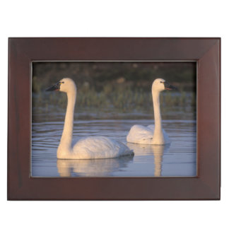Whistling swan or tundra swan, swimming in the keepsake box
