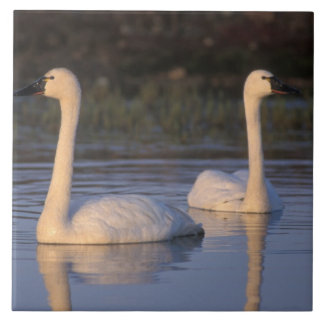 Whistling swan or tundra swan, swimming in the large square tile