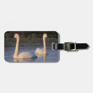 Whistling swan or tundra swan, swimming in the luggage tag