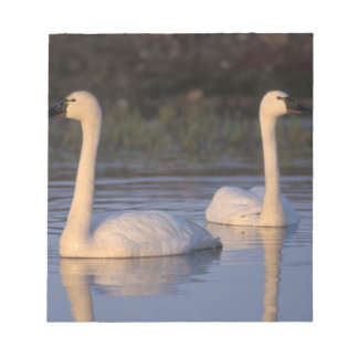 Whistling swan or tundra swan, swimming in the notepad